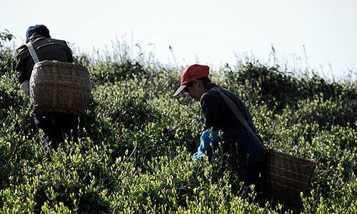 Atelier «Chine, L'origine de tous les thés»