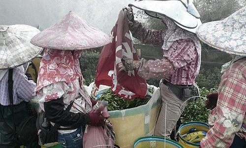 Atelier «Taiwan, L'île des wulong de hautes montagnes»