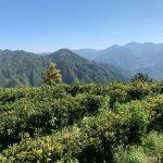 Arrivage 2019 des thés au Camellia Sinensis - Camellia Sinensis Maison de thé