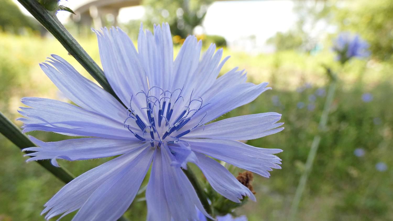 Flore et faune locales : la vie en bleu de notre chicorée sauvage - Jean Cazes