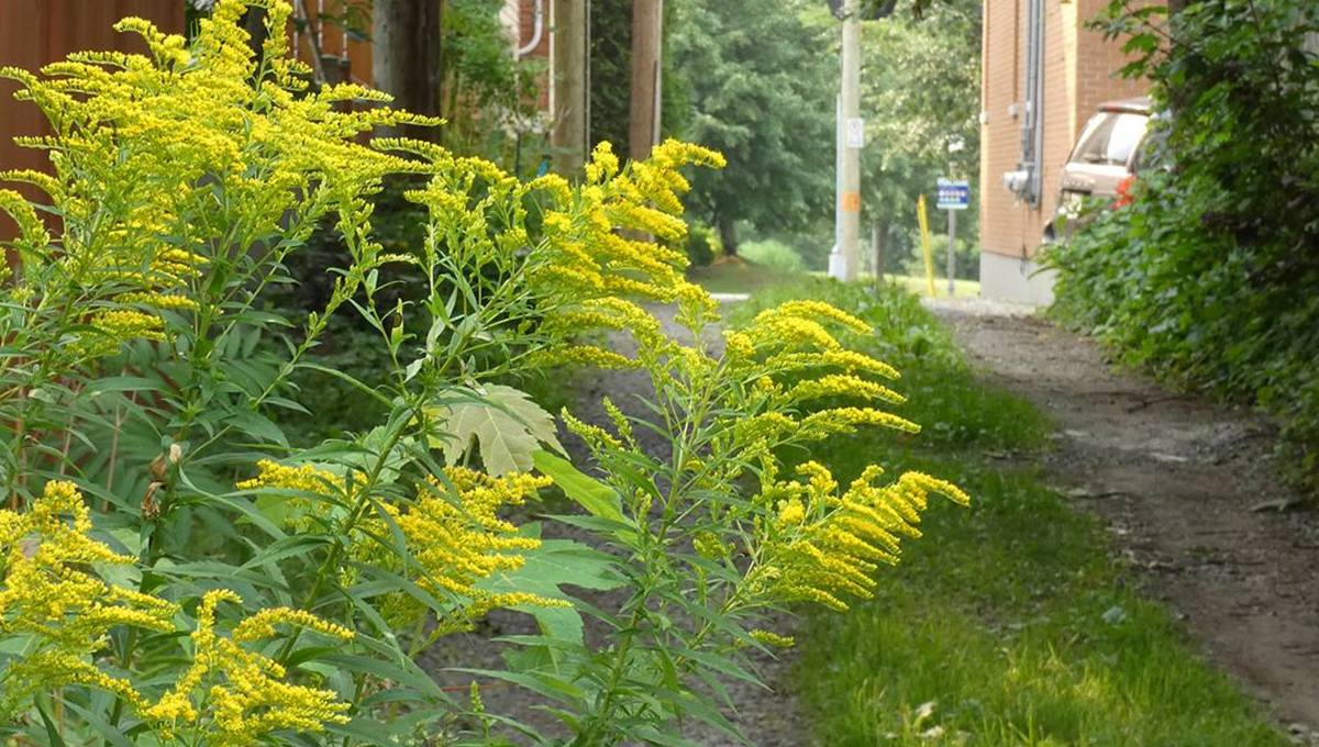 Flore et faune locales : la verge d'or et ses fleurs ensoleillent la fin de l'été - Jean Cazes